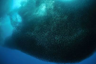 The incredible shoals of sardines