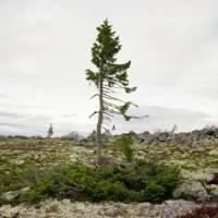 Spruce Gran Picea #0909 – 6B37