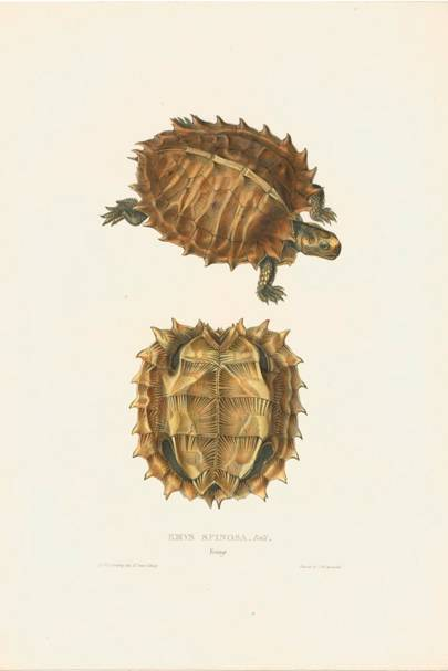 Spiny Turtle (formerly Emys spinosa)