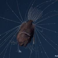 Deap-sea anglerfish found mating