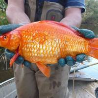 Giant Goldfish Are Being Found In Australian Rivers