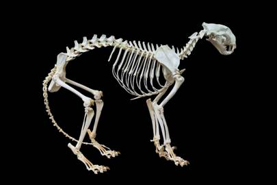 A tiger skeleton