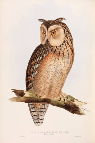 Eastern Great Horned Owl (Bubo ascalaphus)