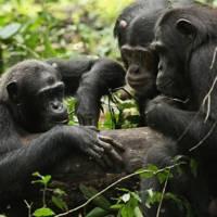 Chimps foraging for honey in Uganda