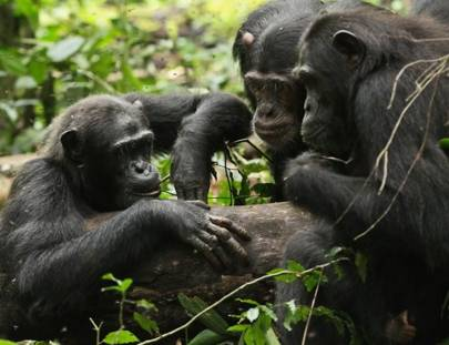 Chimps foraging for honey in Uganda