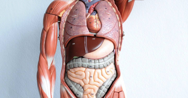 Foto anatomia umana organi 100