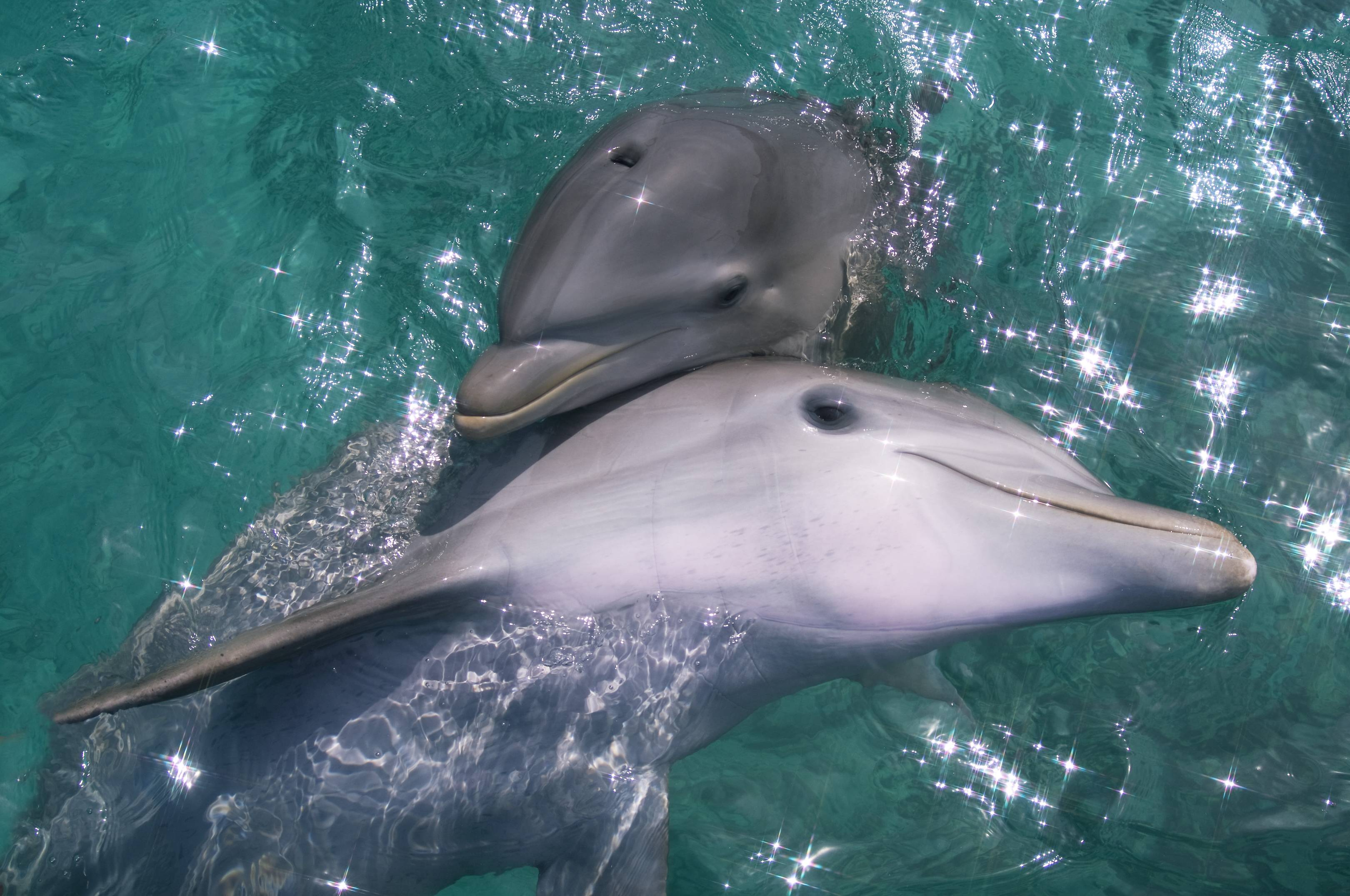 inflated dolphin penises reveal how marine evolved