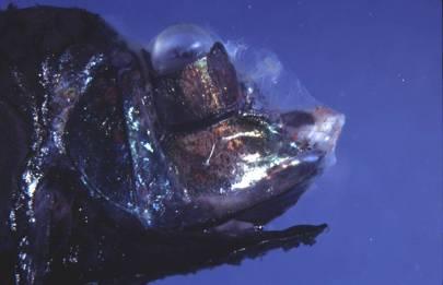 Opisthoproctus soleus