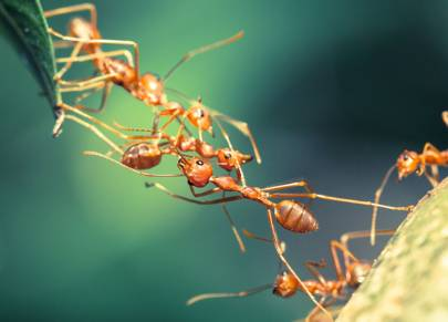 Carpenter ants 'throw up' on each other to say hello