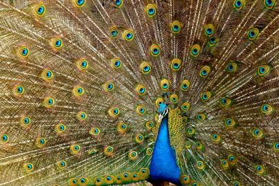 Eye-tracking cameras reveal secrets of peacock's tail feathers