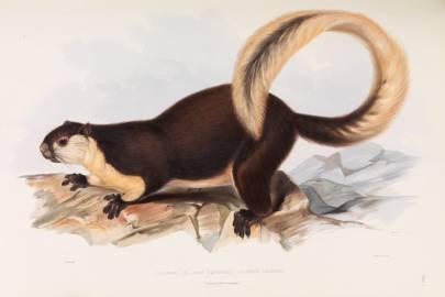 Malayan Giant Squirrel (Sciurus javensis)