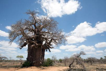 Baobab tree in Keer-Keer, South Africa.