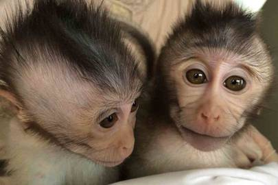 'Autistic' monkeys created in Chinese lab