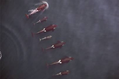 Drone captures amazing image of killer whales at sea