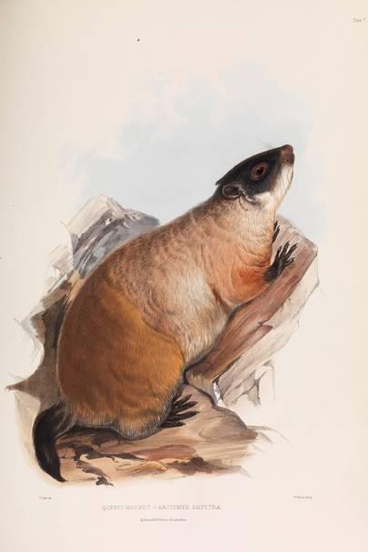 Quebec Marmot (Arctomys empetra)