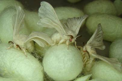 Monster Silk moths are genetically engineered to produce spider silk. They have been engineered with red eyes so scientists can tell them apart from conventional moths
