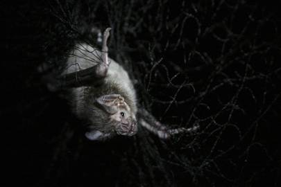 Vampire bats in Brazil are feeding on humans