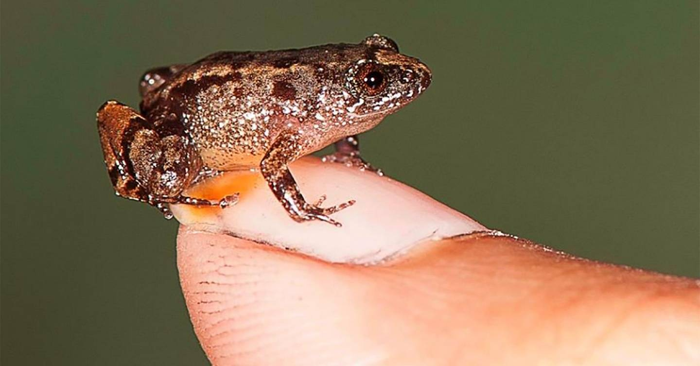 These tiny newly-discovered frogs are some of the smallest in the world