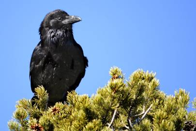 Ravens have paranoid, abstract thoughts about other minds