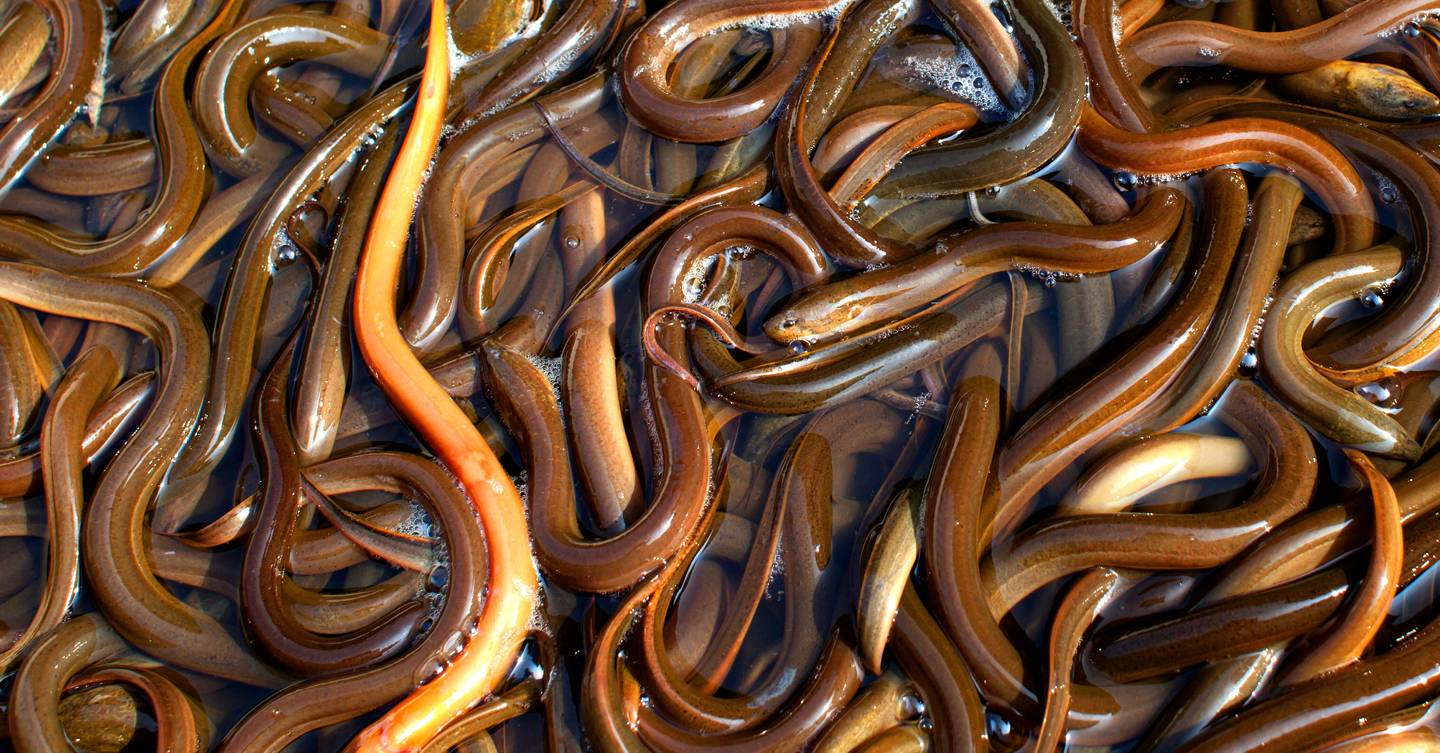 Eels are one of the ocean's great mysteries, but populations have been trafficked to the verge of extinction. Now eel-smuggling gangs are starting to