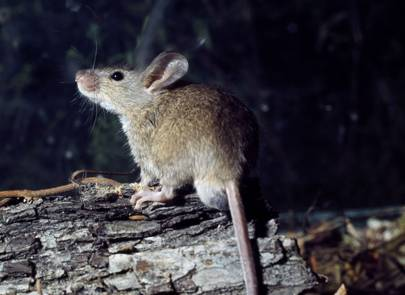 Biologists help deaf mice hear again by inserting healthy genes into their ears