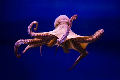 Can the wonderful octopus help make wheelchairs obsolete?
