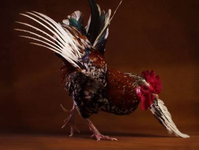 National Dance Like a Chicken Day (May 14)