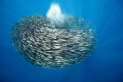 A school of blue jack mackerel merges into a bait ball, a torus that confuses its predators