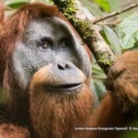 Tapanuli orangutan (Pongo tapanuliensis)