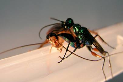 A cockroach, unsure if its insurance will even cover such a procedure, struggles as a jewel wasp performs violent brain surgery with its stinger