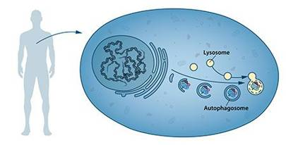 Autophagy (illustrated) provides fuel for energy and building blocks for renewal of cells. After infection, autophagy can destroy bacteria and viruses and it contributes to embryo development as well cell differentiation