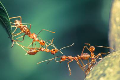 Ants self-medicate on toxins when sick