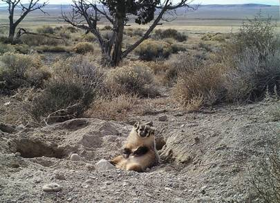 Utah researchers record badger burying entire cow carcass