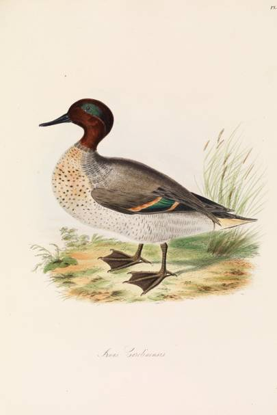 Green-winged Teal (Anas carolinensis)