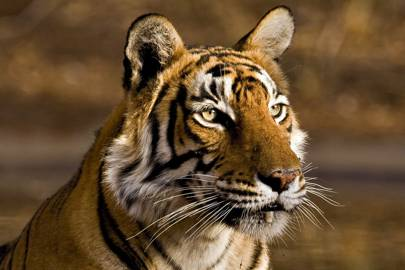 A wild tiger photographed in Ranthambore National Park in Rajashthan, India in April 2010