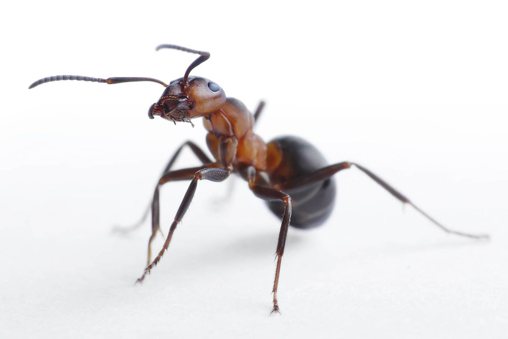 ant colonies react to attack like a single u0027superorganism u0027 wired uk