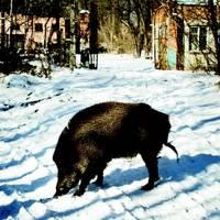 Chernobyl Boar