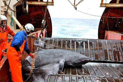 Greenland shark on a boat