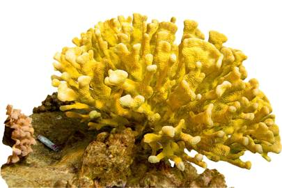 The Pocillopora eydouxi was digitised in Kalaupapa, Molokai, in Hawaii
