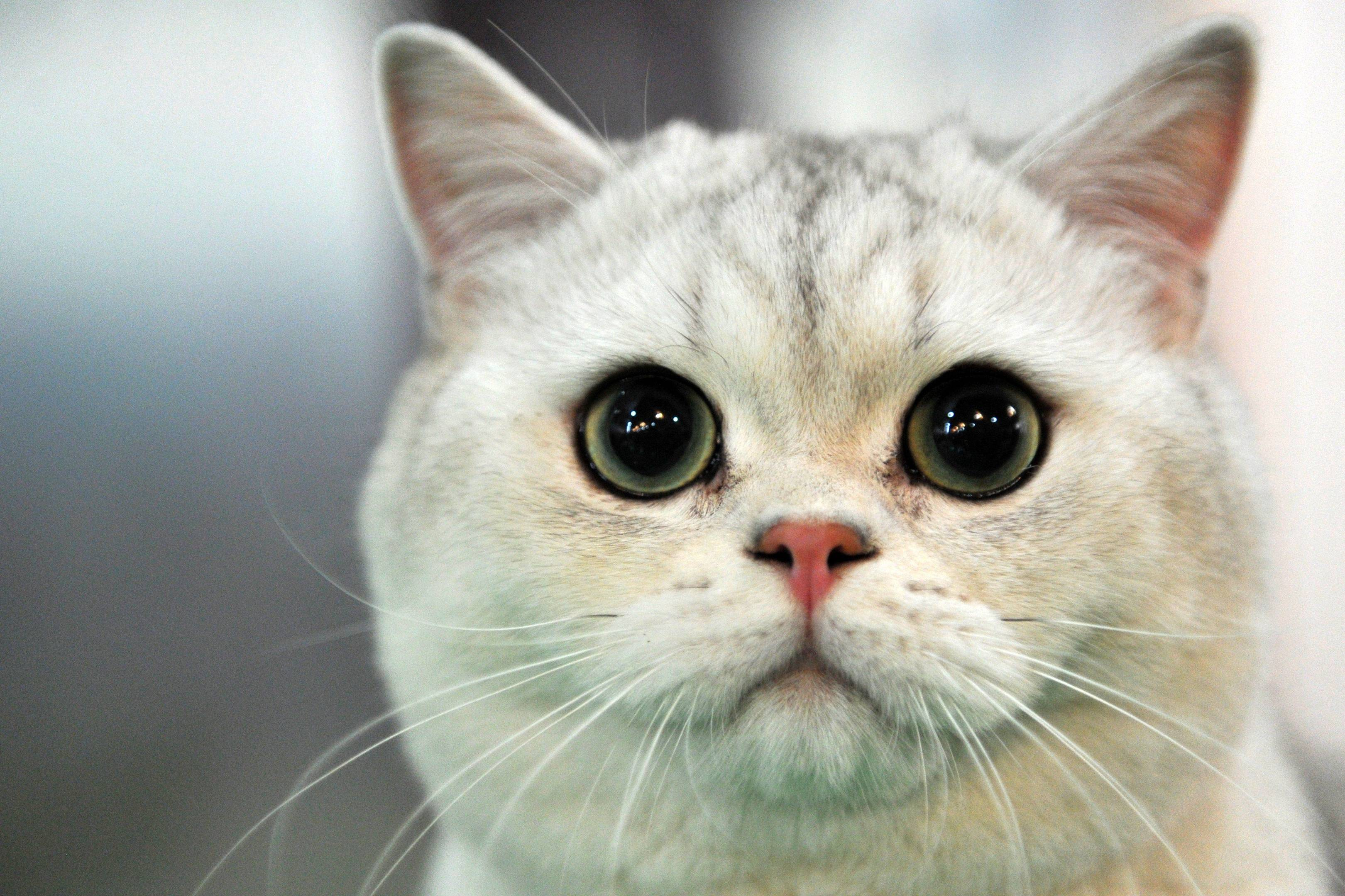 why do cats purr wired explains wired uk