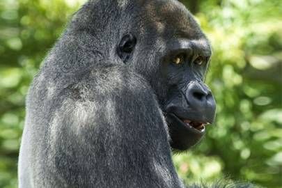 Gorillas grin like us, but mean something different | WIRED UK