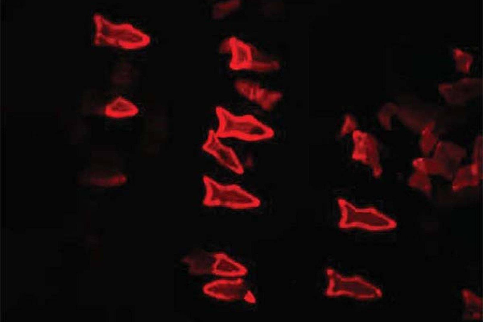 3D-printed 'microfish' swim in bloodstream to deliver drugs