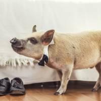 Jamon the Pig