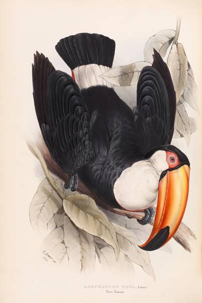 Toco Toucan (Ramphastus toco)