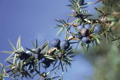 Close-up of fruits on a branch of a Juniper tree (Juniperus communis) - subspecies unknown.