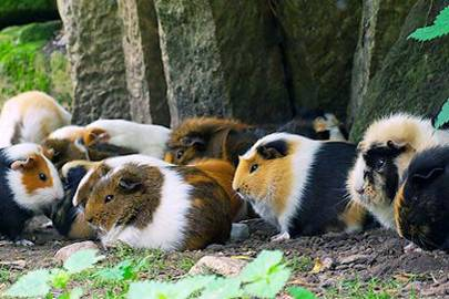 Guinea Pig Poop Powers Peruvian Villages Wired Uk