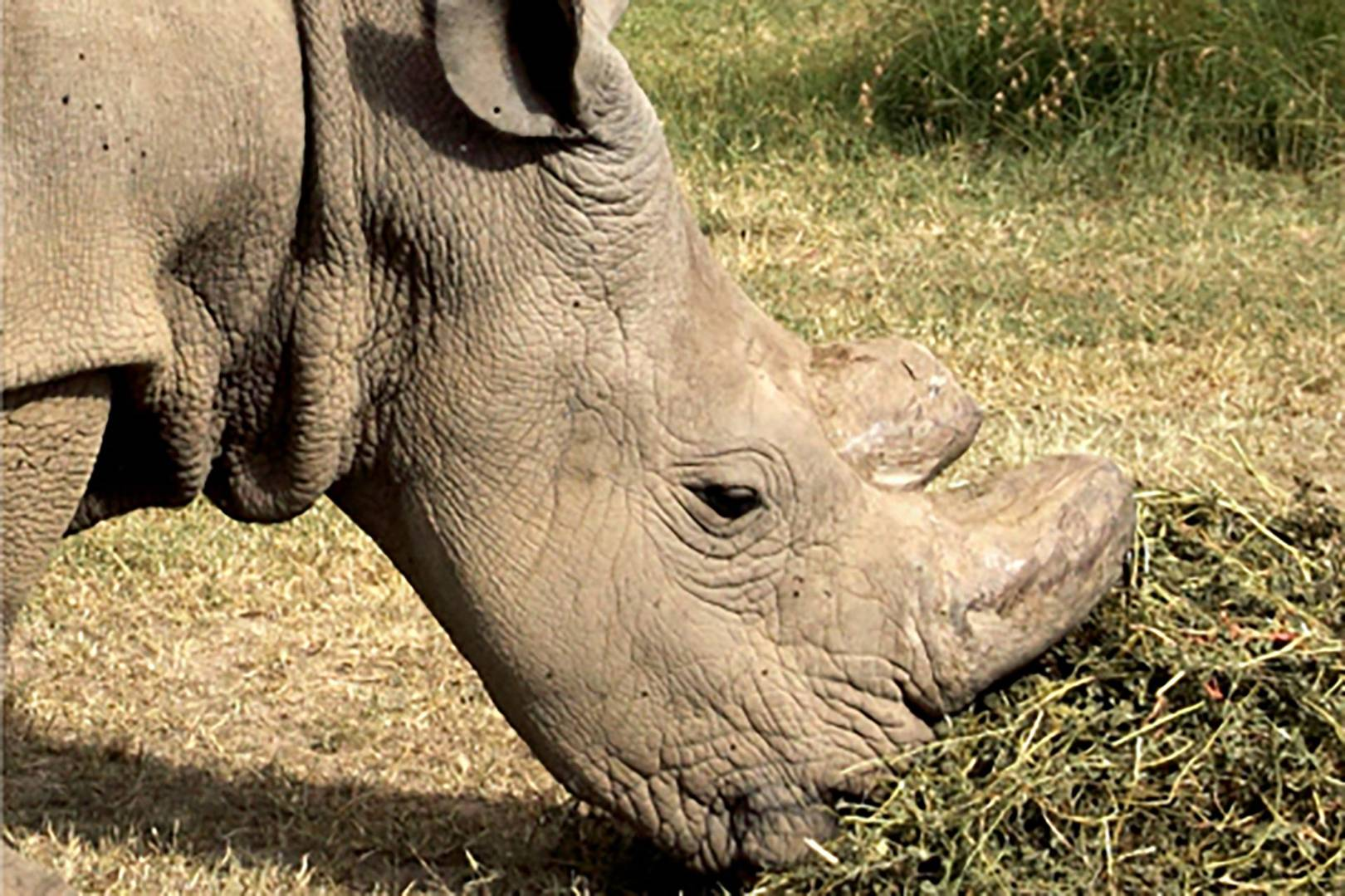 endangered rhino u0027joins u0027 tinder to save his species from