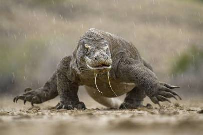 Komodo National Park Google Doodle tests your reptilian knowledge - Technology Updats