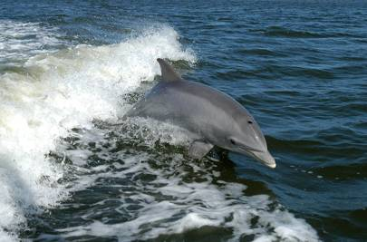 Bottlenose Dolphin - Tursiops truncatus