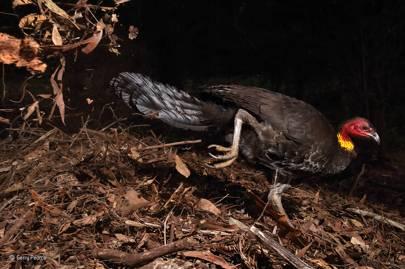 Behaviour, birds: The incubator bird